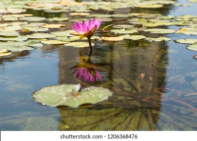 Pink water lily with reflection in water