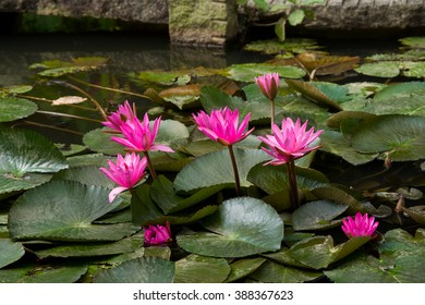 Pink water lily. Southeast Asia.