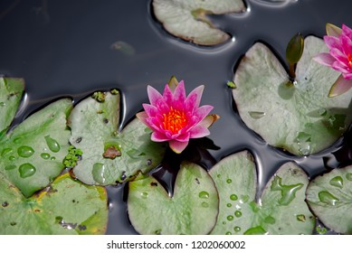 Pink water lily surrounded by lily pads