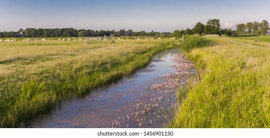 Pink water plants in rural Groningen, Netherlands