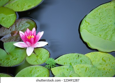 Pink waterlily and leafs in garden pond