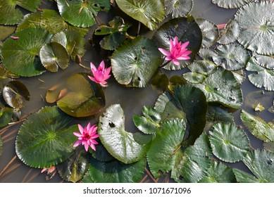 Pink waterlily or lotus flower in natural water pool