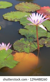 pink waterlily in a pond