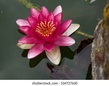 Pink watter lilly