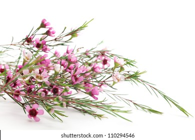 Wax flower images stock photos vectors shutterstock pink waxflower on white background mightylinksfo