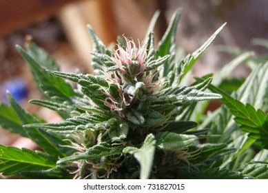 Pink weed flower close up