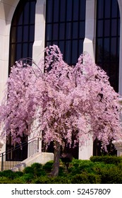 pink weeping cherry willow tree by church