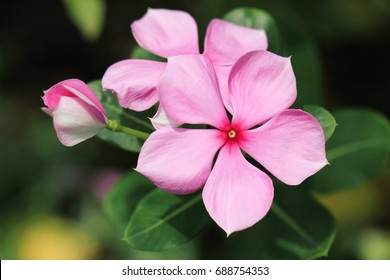 Pink West Indian periwinkle, Madagascar periwinkle, Cape periwinkle, Pinkle-pinkle, Vinca, Cayenne jasmine, Rose periwinkle, Old maid flowers close up with green leaves
