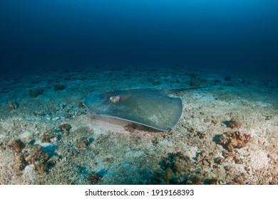 A pink Whipray on the seafloor near a dark tropical reef