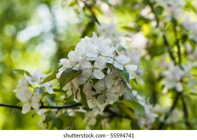 Pink and white apple blossoms, Malus domestica.