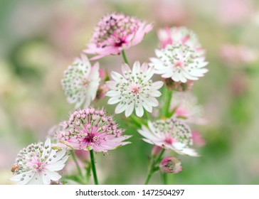 Pink and white astrantia flowers