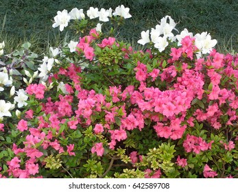 Pink and white azalea flowers in flowerbed
