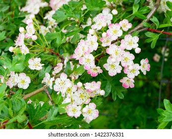 The pink and white blossom of the Hawthorn tree growing in the bright spring sunshine