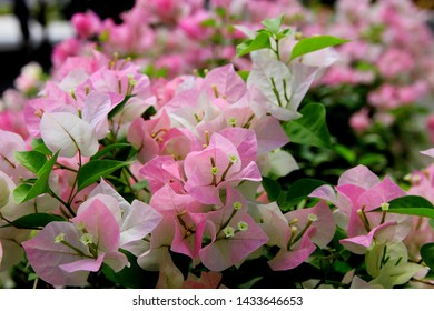 Pink and white bougainvillea flowers.