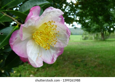 Pink and white camelia with rural background