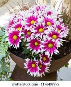 Pink and white chrysanthemum flowers with yellow centre in a pot.