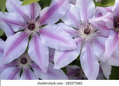 Pink and White Clematis Spectacular large blooms of the 'Nelly Moser' clematis.