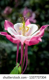 A pink and white columbine flower graces the spring perennial garden.