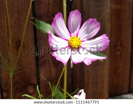 Pink White Cosmo Flower Stock Photo Edit Now 1111467791 Shutterstock