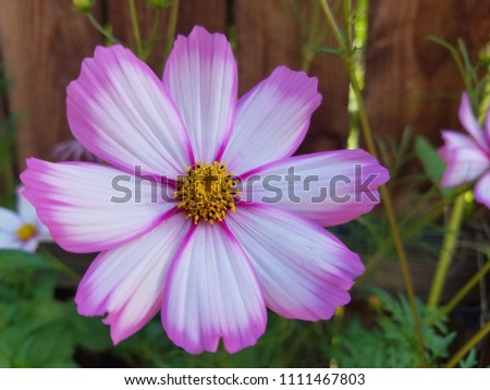Pink white cosmo flower stock photo edit now 1111467803 shutterstock pink and white cosmo flower mightylinksfo