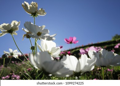 White and pink cosmo flower images stock photos vectors pink and white cosmo flower with sun and blue sky mightylinksfo