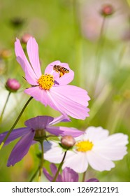 Pink and white cosmos flowers with abee hovering, in South Africa