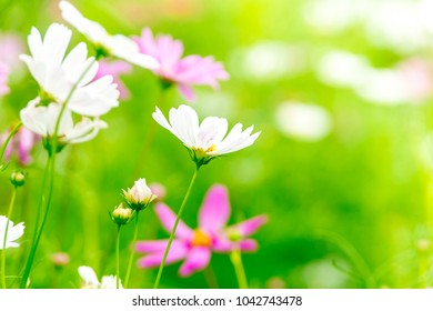 Pink and White cosmos flowers in garden ,beautiful flower