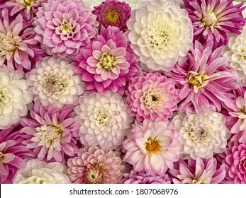 Pink white dahlia flowers, wallpaper background. Dahlia flowers with rain drops, top view wallpaper background. Blossoming dalias bloom