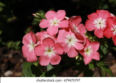 "Pink and white ""Drummond's Phlox"" flowers (or Annual Phlox, Summer Phlox) in St. Gallen, Switzerland. Its Latin name is Phlox Drummondii, native to eastern USA."
