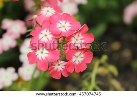 Pink white drummonds phlox flowers or stock photo edit now pink and white drummonds phlox flowers or annual phlox summer phlox mightylinksfo