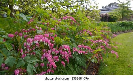 Pink White Flowering Dicentra Spectabilis Bleeding Heart Langtrees Plant