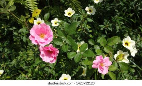 Pink and white flowers at Nusantara Flower Park in West Java Indonesia