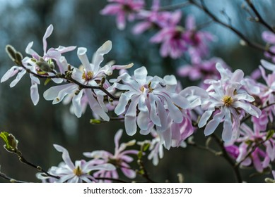 Pink and white flowers of the Star Magnolia (magnolia stellata)
