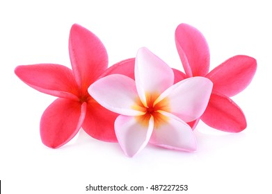 pink and white frangipani (plumeria) flower isolated on white