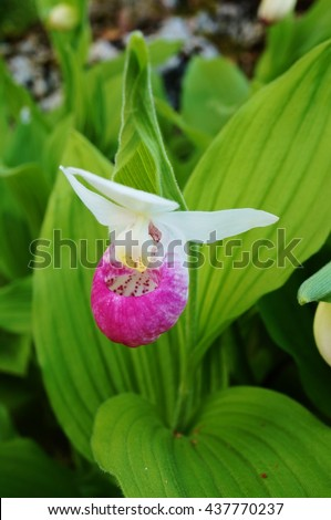 Pink white lady slipper orchid flower stock photo edit now pink and white lady slipper orchid flower cypripedium reginae mightylinksfo