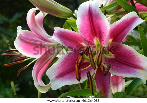 Pink with white lily flower bush in summer season home flower garden