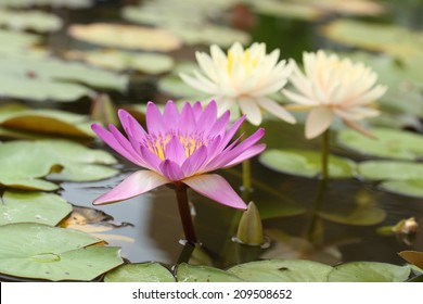 pink and white lotus or water lily on the pond