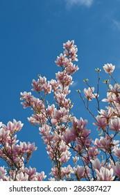 Pink white magnolia blossom over blue sky. Vertical