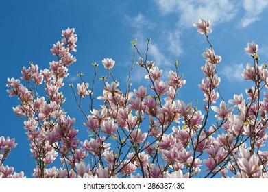Pink white magnolia blossom over blue sky. Horizontal.