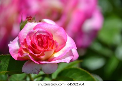 pink and white miniature rose