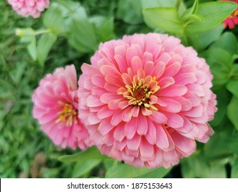 Zinnia is herbaceous plant with flowers in many colors such as red, pink, white, orange, purple Zinnia flowers are dried and ground into a power for making tea