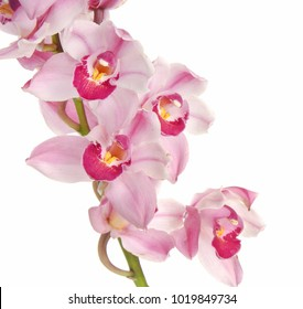 Pink and white orchid flowers isolated