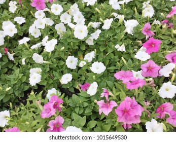 Pink and White petunia flower in the garden