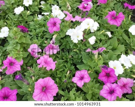 Pink White Petunia Flower Garden Stock Photo Edit Now 1014963931