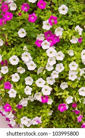 Pink and white petunia trailing flower in full bloom