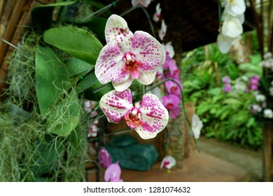pink and white Phalaenopsis Orchids