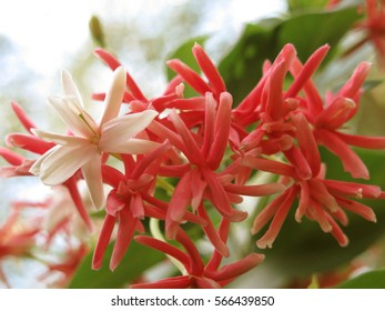 Pink and white rangoon creeper flowers with natural light background.