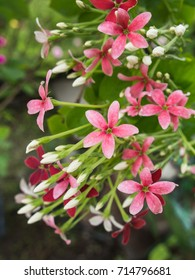 Pink White Red Rangoon Creeper Flowers Blooming in The Garden