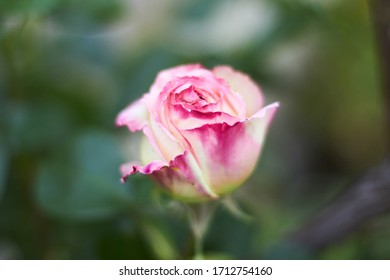 Pink and white rose close up , soft focus on flower