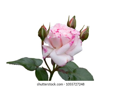 Pink and white rose isolated on white background